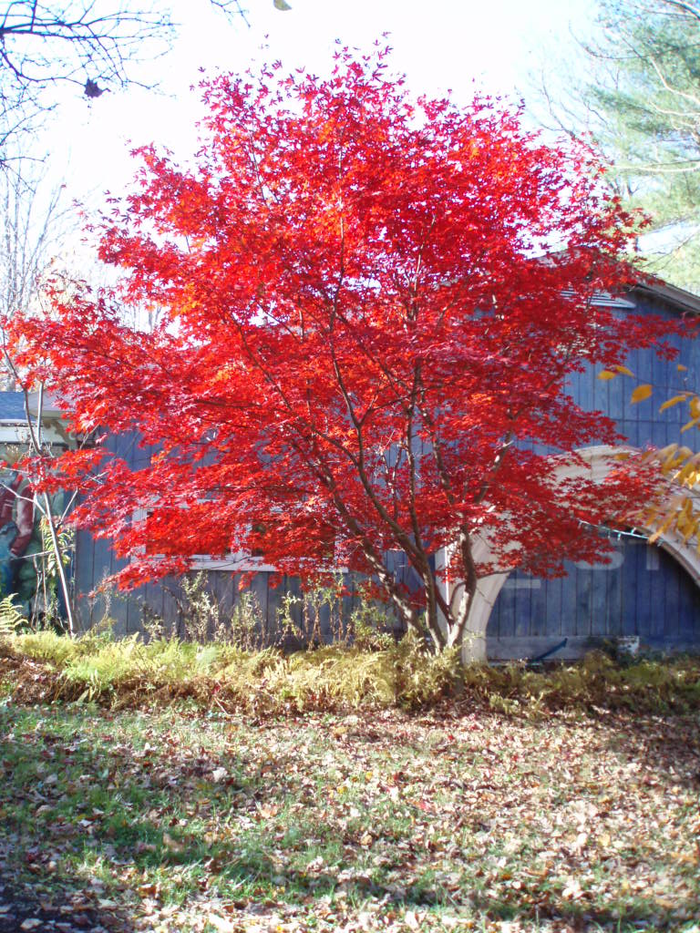 TOM'S RED JAPANESE MAPLE FLAMING